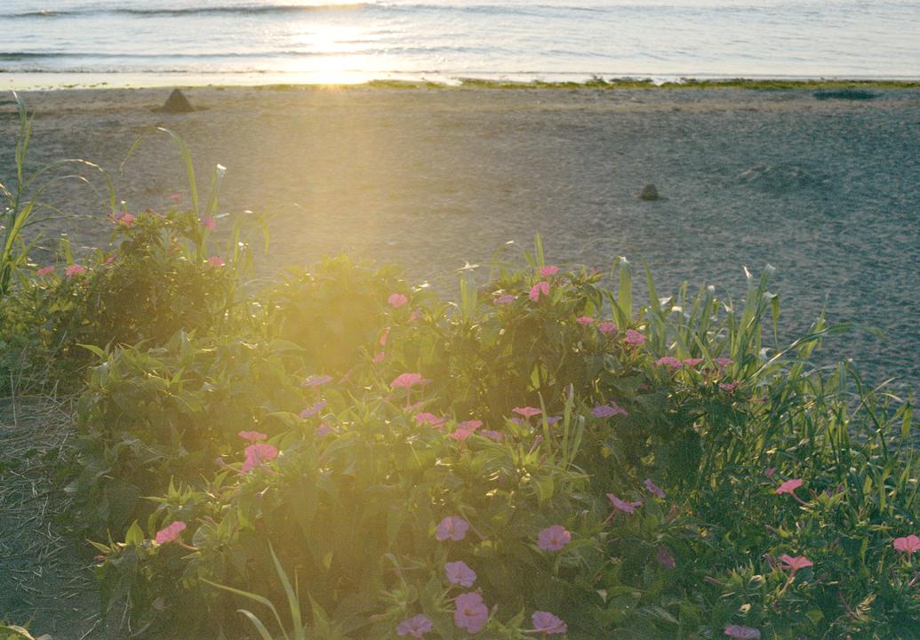 海辺に咲く花